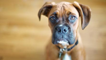 Animals dogs boxer wallpaper