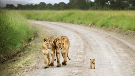 Nature animals roads lions baby lion Wallpaper