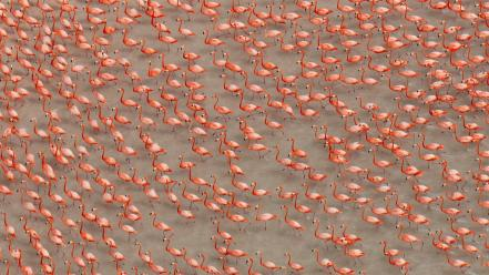Water flock national geographic flamingos birds wallpaper