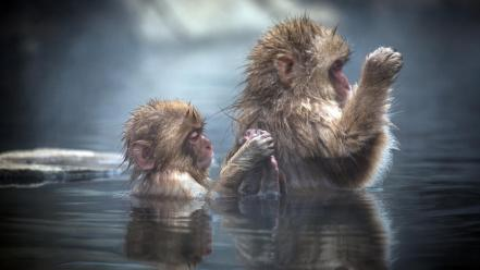 Water animals monkeys baby japanese macaque wallpaper