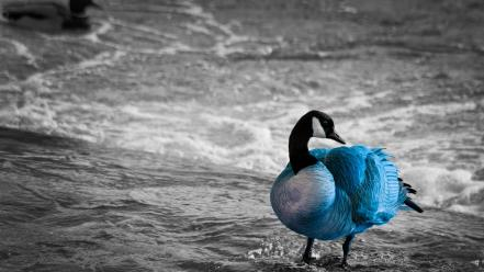Water ocean animals outdoors selective coloring geese birds wallpaper