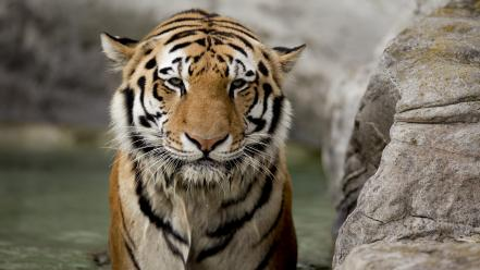 Bathing camouflage backgrounds bengal captivity poker face wallpaper