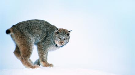 Animals wild cats Wallpaper