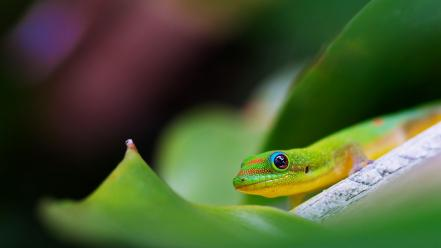 Lizards macro reptiles wallpaper