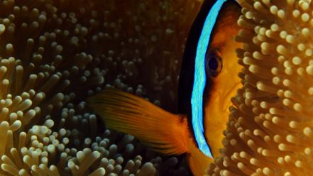 Nature fish national geographic clownfish sea anemones palau wallpaper