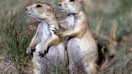 Nature animals prairie dogs wallpaper
