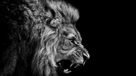 Black and white angry the king mountain lion Wallpaper