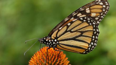 Animals monarch butterflies wallpaper