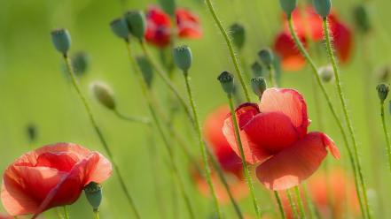 Poppies wallpaper
