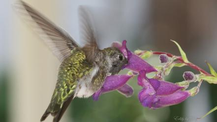 Animals hummingbirds birds wallpaper