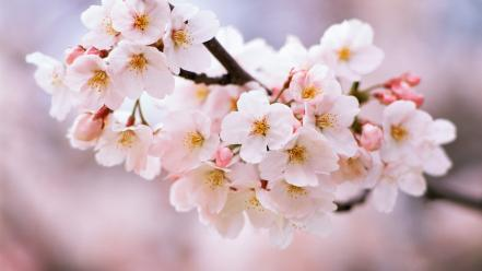 Cherry blossoms trees flowers spring (season) Wallpaper