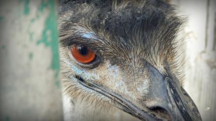 Close-up eyes birds animals red emu india wallpaper