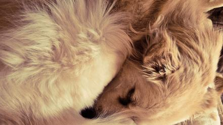 Dogs sleeping wallpaper