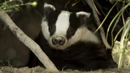 Animals badgers Wallpaper
