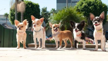 Animals dogs chihuahua wallpaper