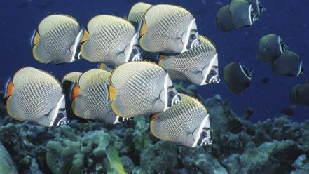 Fish angelfish wallpaper