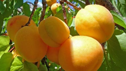 Fruits food crop apricots branch wallpaper