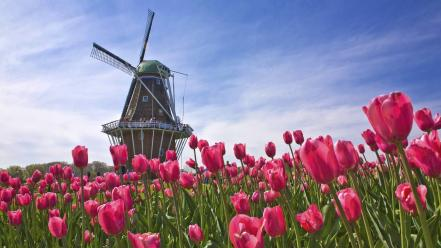 Landscapes nature tulips windmills pink flowers wallpaper