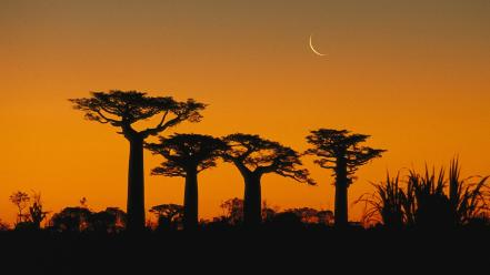 Trees madagascar baobab wallpaper