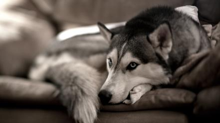 Animals dogs husky siberiano wallpaper