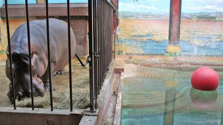 Animals national geographic cage washington dc hippopotamus zoo wallpaper