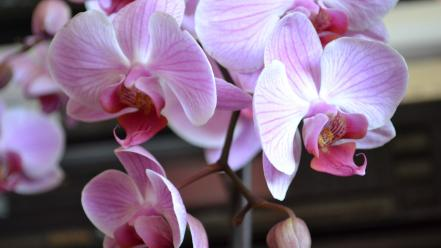 Flowers orchids Wallpaper