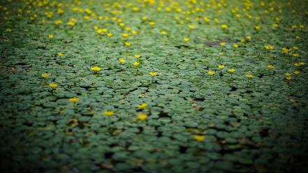 Nature bokeh lily pads yellow flowers wallpaper