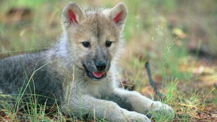Wolves wolf cub wallpaper