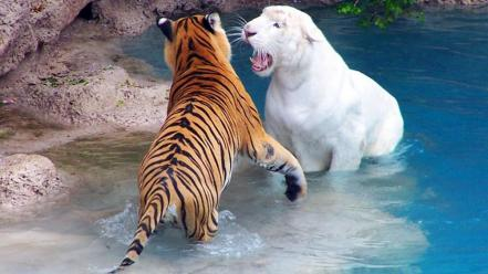 White tigers stripes wallpaper