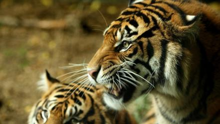 Animals tigers feline wallpaper