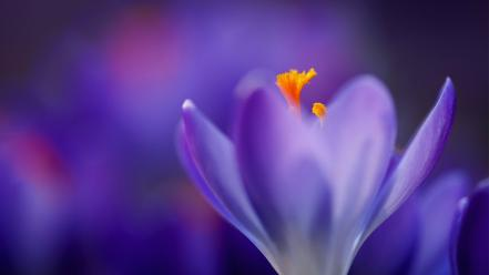 Flowers macro crocus purple wallpaper