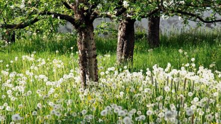 Landscapes nature trees dandelions spring Wallpaper