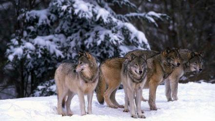 Animals wolves Wallpaper