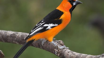 Nature orioles birds wallpaper
