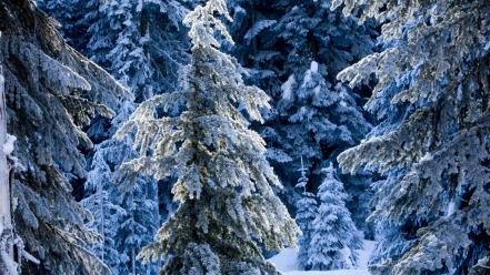 Nature winter snow frost pine trees wallpaper