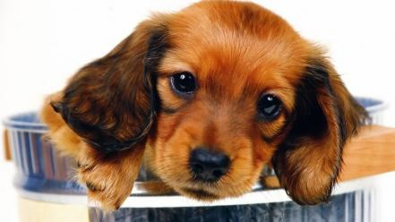 Animals dogs puppies daschund faces wallpaper