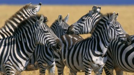 Animals zebras national mara plains kenya wallpaper