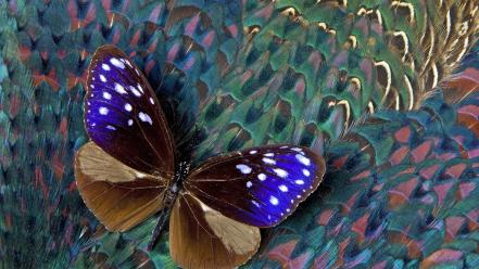 Blue crow feathers pheasant butterflies wallpaper