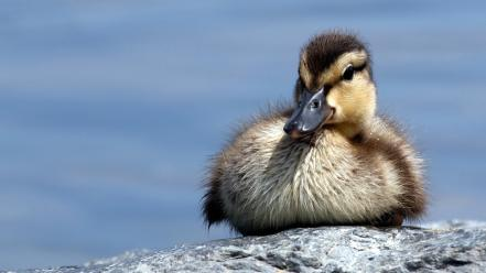 Nature animals ducks duckling baby birds Wallpaper
