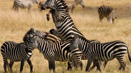 Nature animals zebras standing wallpaper
