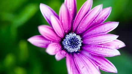 Flowers daisy macro pink wallpaper