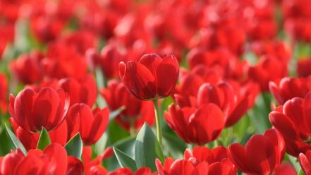 Flowers tulips red wallpaper