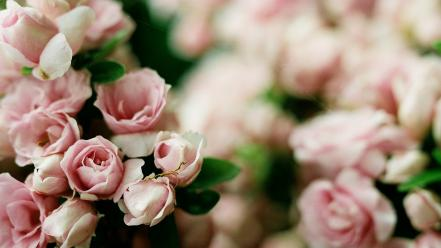 Nature flowers roses wallpaper