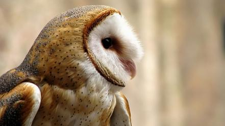 Animals owls barn owl wallpaper