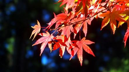 Autumn (season) red leaves sunlight maple leaf branches wallpaper
