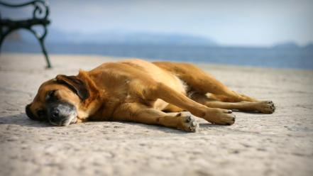 Beach sand animals dogs pets wallpaper