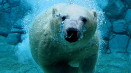 Underwater polar bears wallpaper