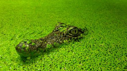 Water nature crocodiles reptiles wallpaper