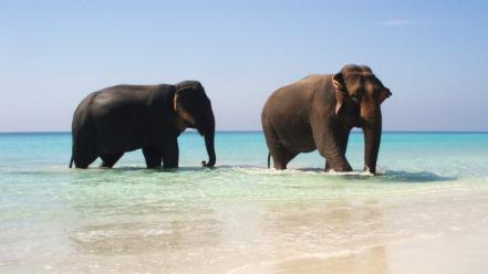 Beach animals elephants pair wallpaper