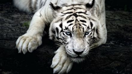 Animals tigers white tiger bengal wallpaper